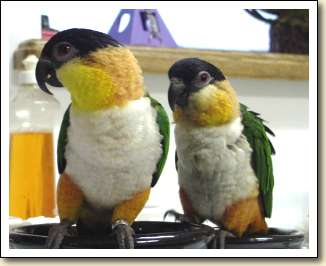 Black-headed Caiques - Pajaro & Squeaky