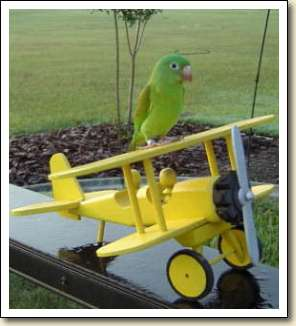Orange-chin Parakeet - Panchito