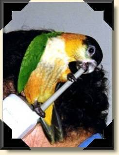 Black head Caique - Pandora