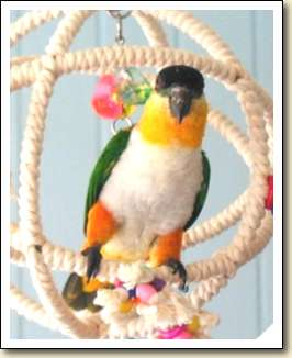 Black-headed Caique - Pandora