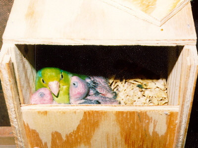 Parrotlets: Introduction to the Care and Breeding