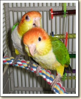 White belly Caiques - Penelope & Pollux