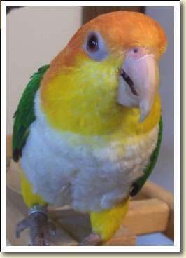 White-bellied Caique - Poppy