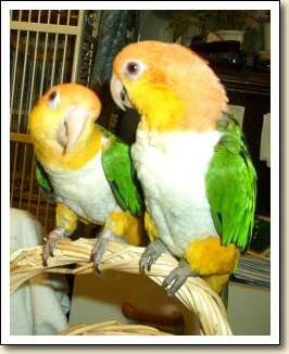White bellied Caiques - Sailor Boy & Chiquita