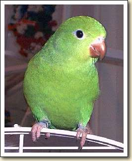 Canary-wing Parakeet - Sammy
