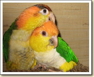 White-bellied Caiques - Scout & Cooper