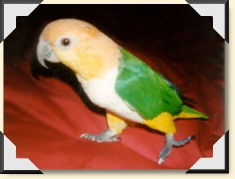 White belly Caique - 'Sister' Sherbet