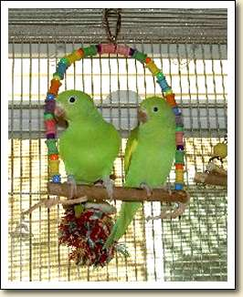 Canary-wing Parakeets - Sevie & Sophia