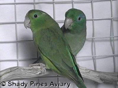 Parrotlets - Species Descriptions & Photos