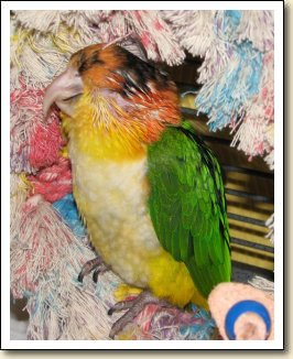 White-bellied Caique - Stevie