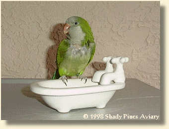 Quaker Parrot 'Teddy'
