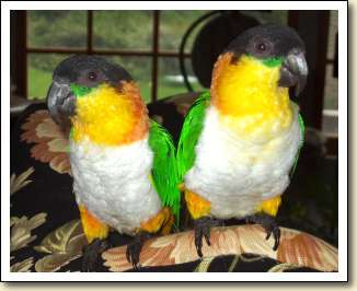 Black headed Caiques - Toby & Jada