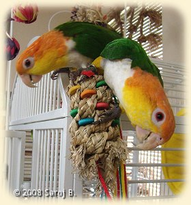 Caique with Frayed knots toy