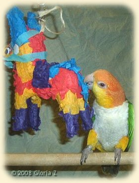 Caique with Pinata toy