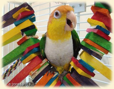 Caique with Wood chew toy