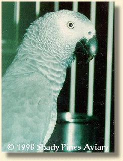 African Grey Parrot '/Tuki'/