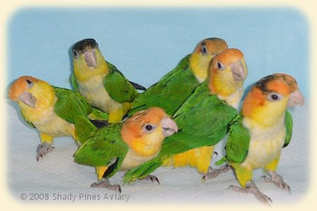 Caique chicks at weaning age