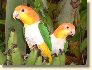 White-bellied Caiques - adults