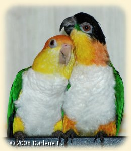 Bonded pair of one White-bellied and one Black-headed Caique