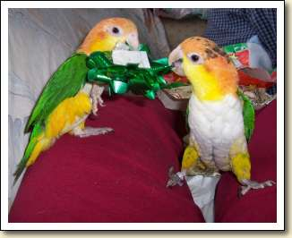 White-bellied Caiques - Zachary & Daisy