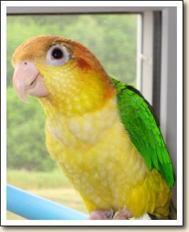 White-belly Caique - Zoey