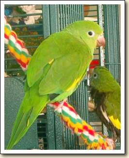 Canary-wing Parakeet - Zoey